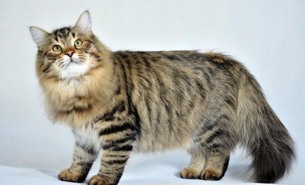 Кішка сибірської породи