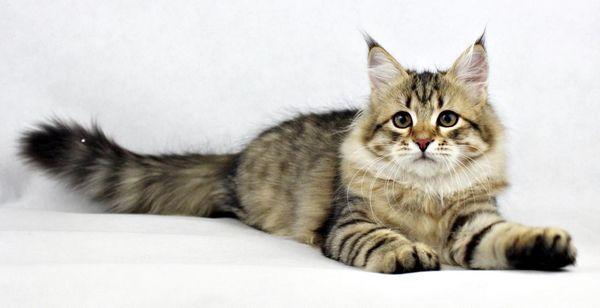 Молода кішка сибірської породи