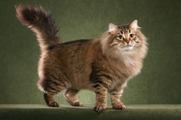 Сибірська кішка ходить