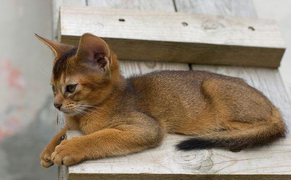 Абиссинский кошеня гріється на сонечку