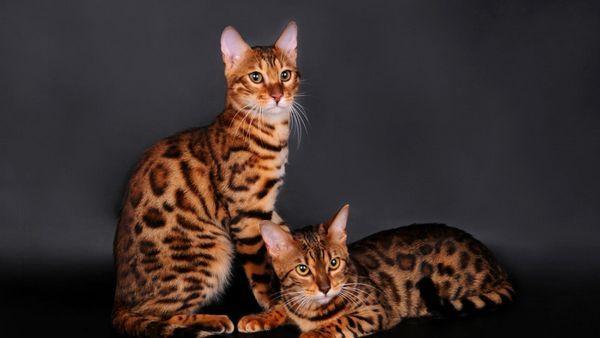 Бенгальські кішки з леопардовим забарвленням