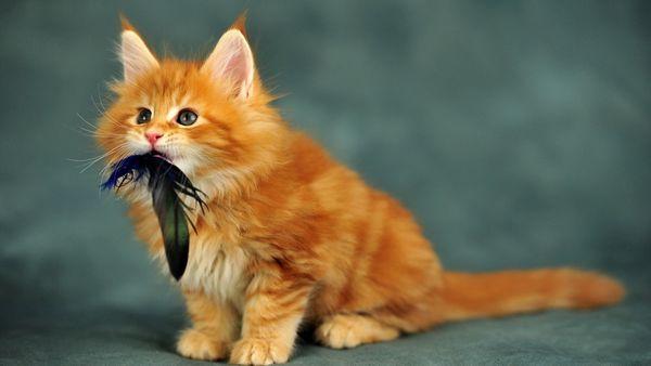 Кошеня мейн-куна зловив видобуток