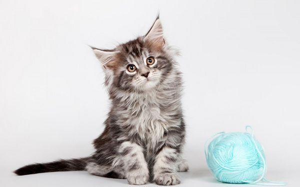 Кошеня породи мейн-кун