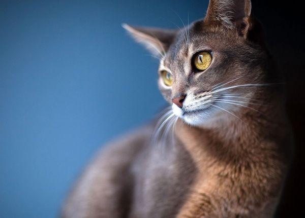Кішка абіссінської породи поблизу