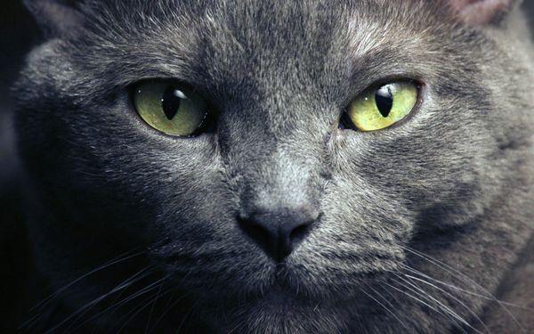 Очі російської блакитної кішки