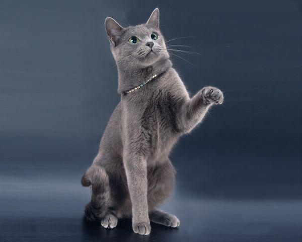 Кішечка породи російська блакитна грає