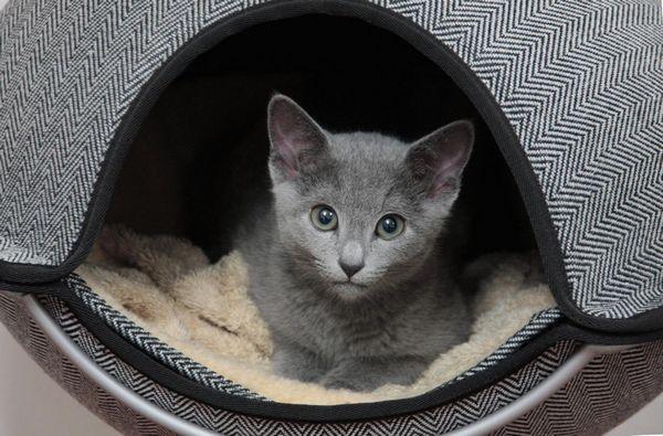 Кошеня породи російська блакитна