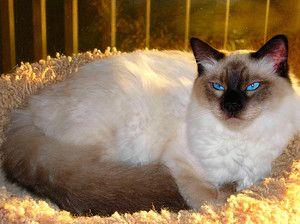 Дорослий кіт балінезійській породи