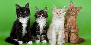 Підростаючі кішки породи мейн-кун