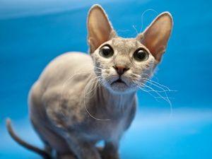 Здивований котик-сфінкс