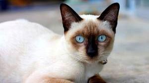 Молодий кіт-сіамец