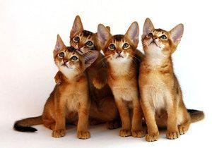 Кошенята абіссінської породи