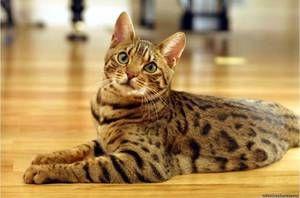 домашня ласкава бенгальська кішка