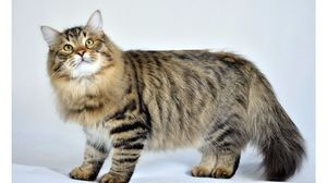 Пухнастий сибірський котик