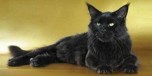 Чорна кішка мейн-кун - маленька пантера