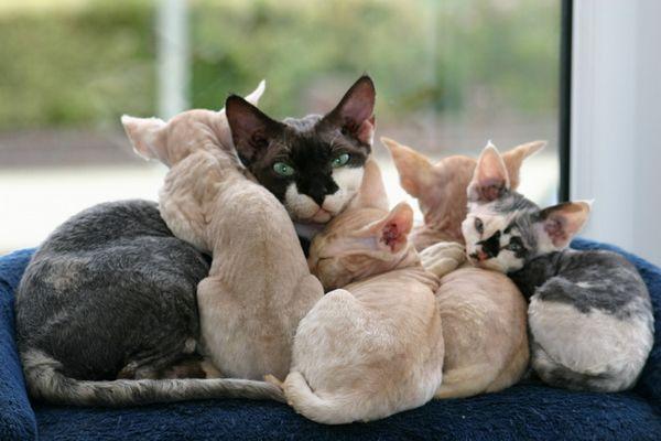 девон рекс з кошенятами