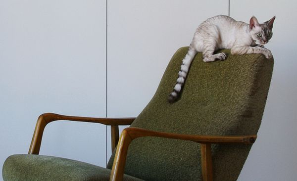 девон рекс кішка