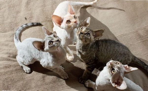 кішки породи девон рекс