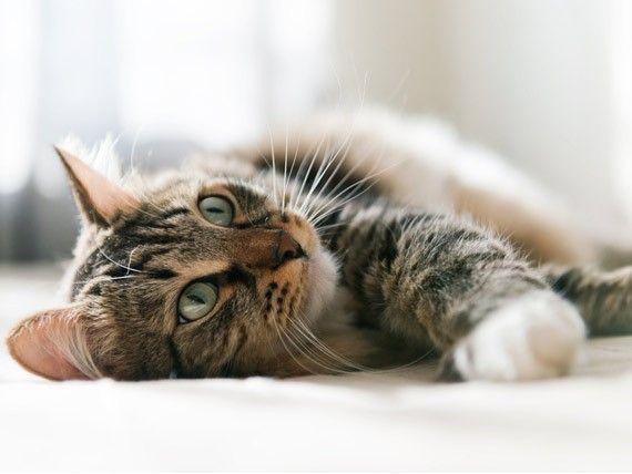 Diagnostika a liečba črevnej obštrukcie u mačiek doma