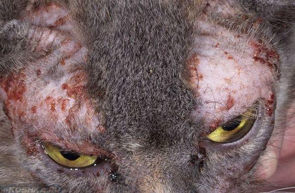 Алергія у кота