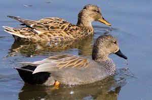 Divoká kačica: popis, údržba, kŕmenie