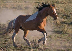 Дикі коні мустанги: все найважливіше і цікавіше