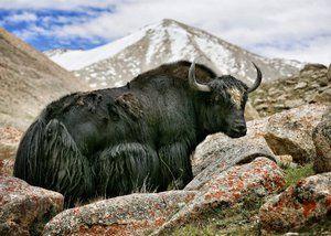Divoký tibetský jak: popis zvieraťa, zaujímavé fakty