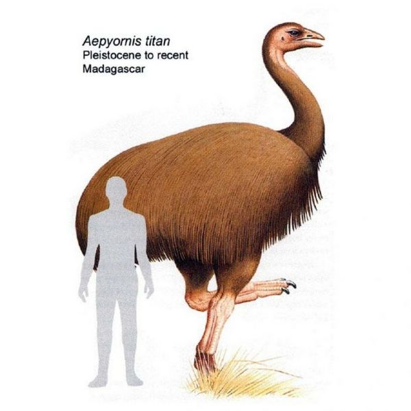 мадагаскарський страус