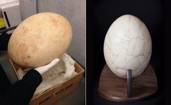 Яйце мадагаскарського страуса
