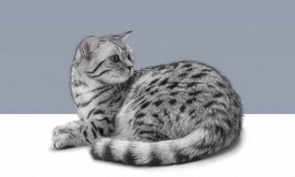 Вагітність у кішки
