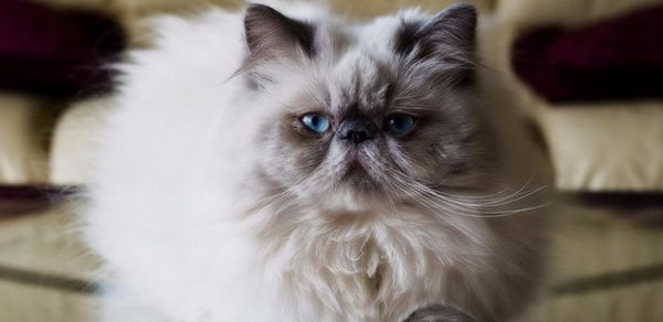 Гімалайський кіт
