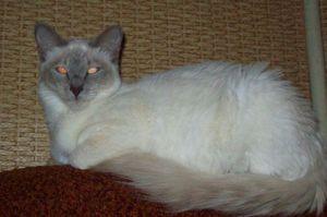 Довгошерста орієнтальна кішка