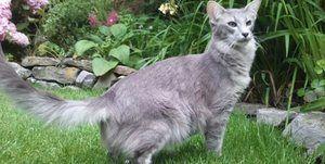 Ориентальная блакитна кішка