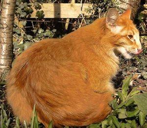 Руда орієнтальна кішка