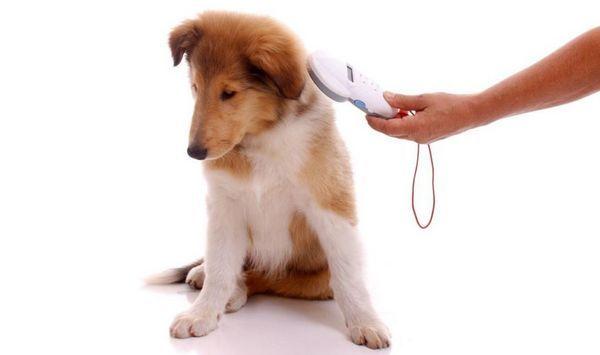 Для чого потрібно чіпування собак і як його роблять
