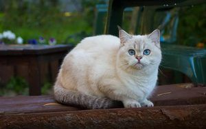 зростання кішок