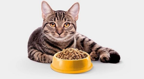 Кот у миски з кормом
