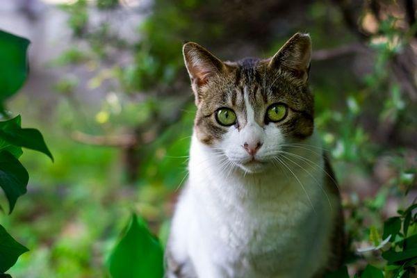 Кот із зеленими очима