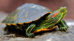 Вид черепахи-Червоновуха