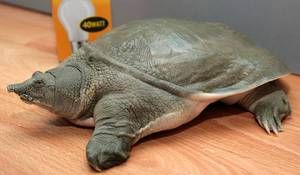 Черепаха Китайський трионикс