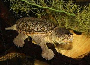 иловая черепаха