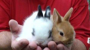 Декоративні кролики - утримання та догляд