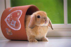 Карликовий кролик будинку - незвичайні тварини