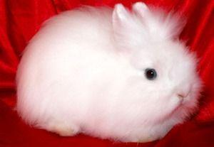 Кролик ангорський карлик - фото породи
