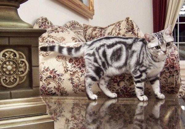 Американська короткошерста кішка