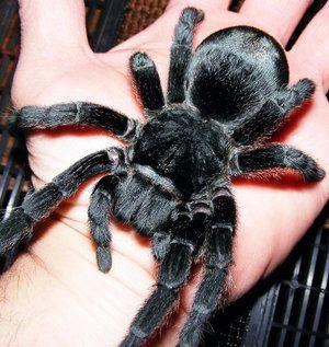 Domáci pavúk tarantuly: funkcie obsahu