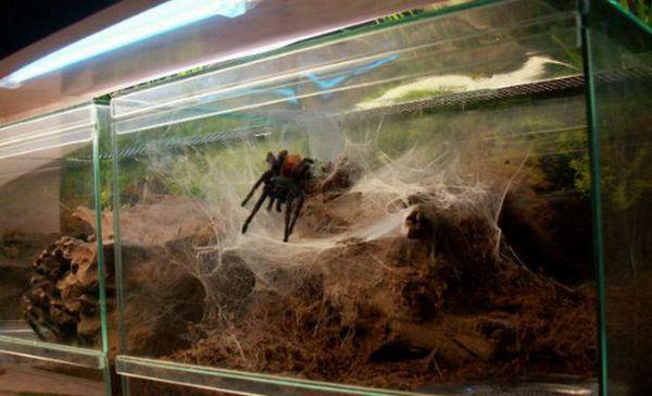 pavúčie terárium