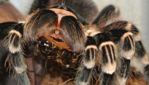 Kŕmenie pavúkov tarantuly