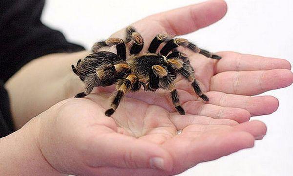 Domáci pavúk tarantuly