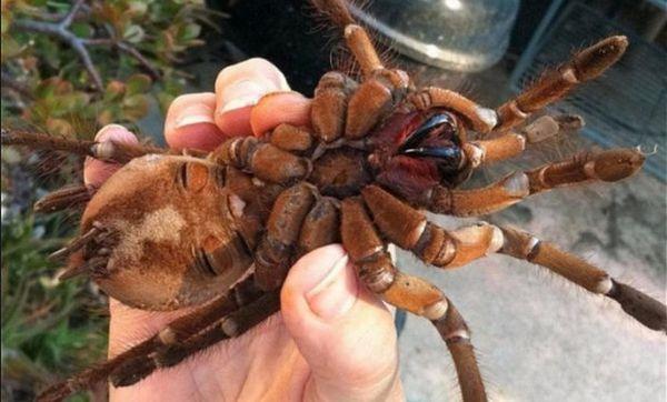 tarantula goliatová